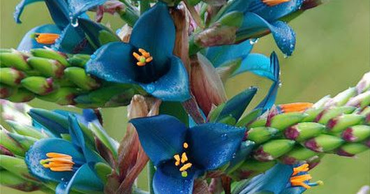 Isn't this beautiful and unique? Puya berteloniana. | Horty Girl | Pinterest | Chile, Quails and Blue