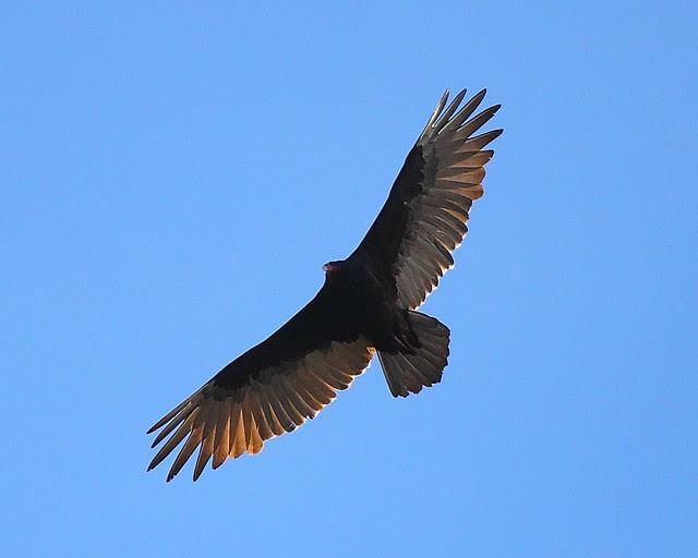 IMG_6958 Turkey Vulture, Grand Teton National Park