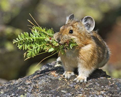 Pikas, Cute and Climate Change Indicators, From SJMA   Pagosa Springs Journal