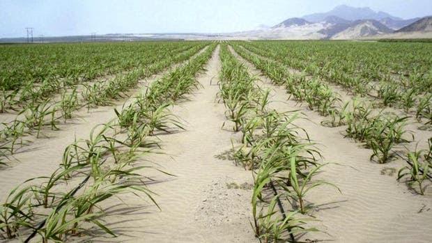 Caña de azúcar en el desierto gracias al riego por goteo