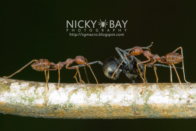 Ants (Formicidae) - DSC_7591
