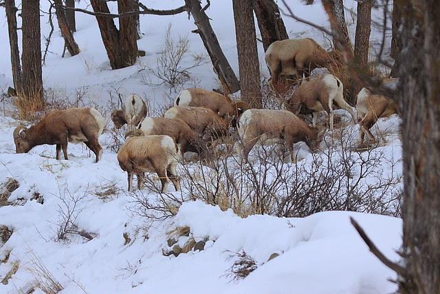 IMG_4945 Bighorn Sheep, Yellowstone National Park
