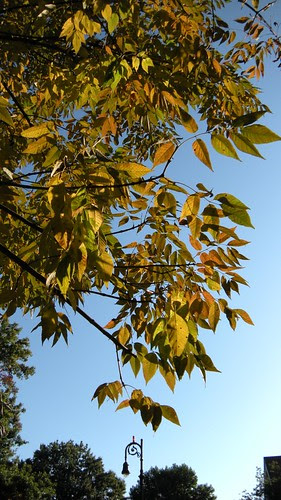Fraxinus americana, White Ash, 1216 Beverly Road