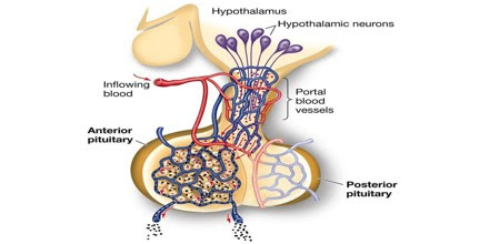Anterior Pituitary0