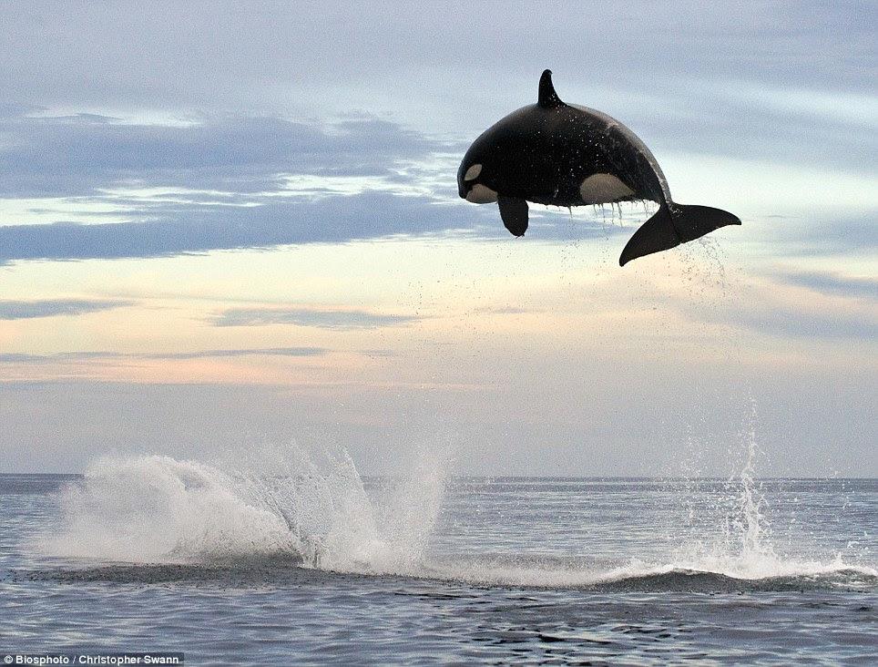 orca jumping photo