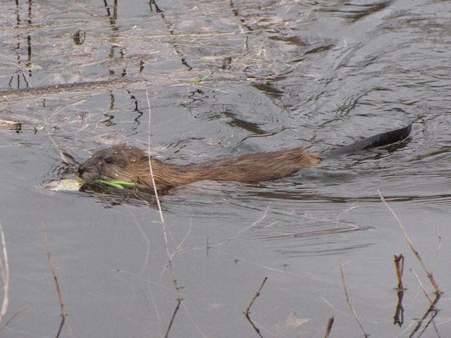 muskrat swimming