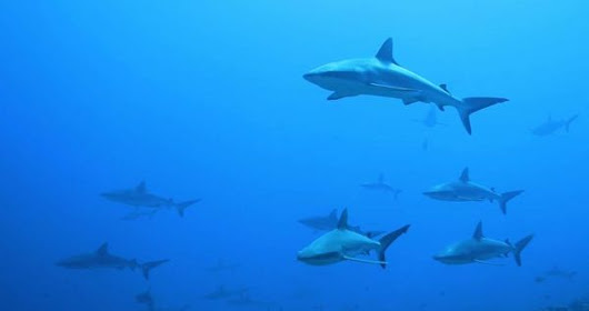 Video: Scuba Diving with Hundreds of Sharks off Fakarava