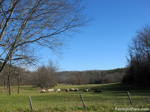 Pregnant ewes grazing in the hayfield - FarmgirlFare.com