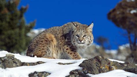 hd wallpaper lynx hunt alaska winter