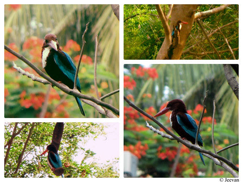 My Kingfisher - collage