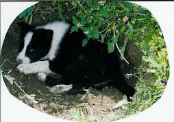 Karelian Bear Dog puppy