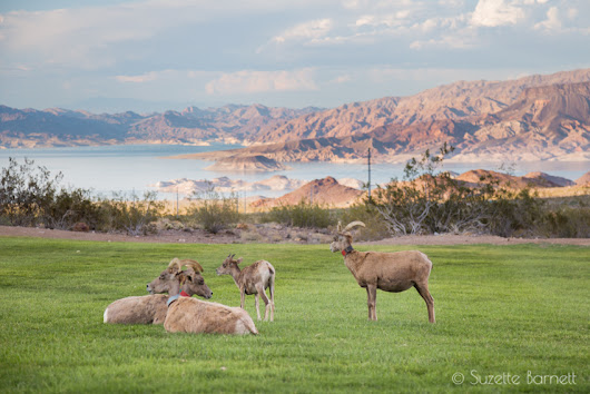 Vegas Detour: Up Close with Wild Bighorn Sheep | Try Something Fun