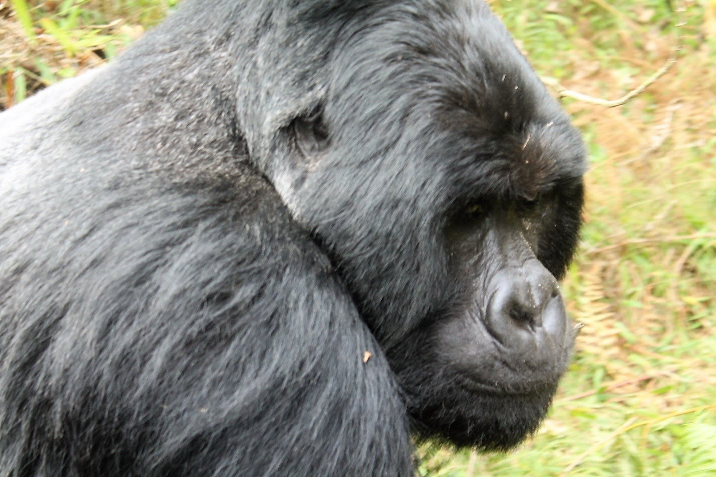 Mountain gorillas background information