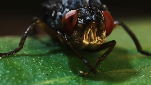 Absurd Creatures | This Fly Is So Horrifying We Had to Put Cute Baby Goats in This Video