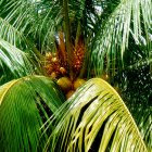 <i>Cocos nucifera palm</i>