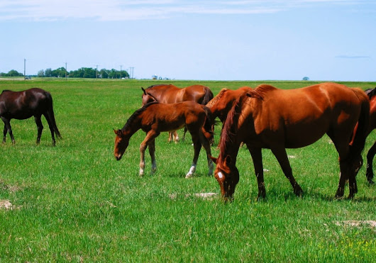 Horses should be classed as livestock, argues industry group - Alberta Farmer Express