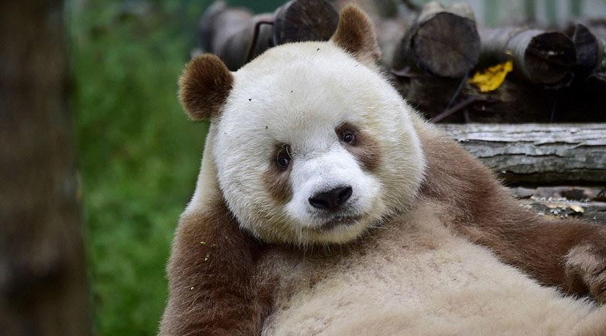 abandonou-brown-panda-qizai-5