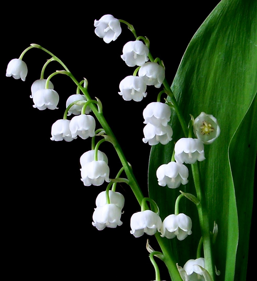 Lily Of The Valley Picture 4245123 983x1074 All For Desktop
