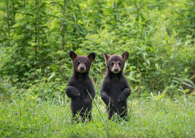 standing cubs links