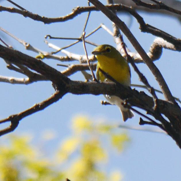 Ed Gaillard: birds &emdash; Yellow-Throated Vireo, Central Park