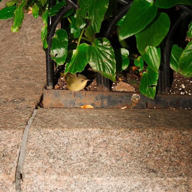 Ed Gaillard: birds &emdash; Common Yellowthroat, Park Avenue and 40th Street