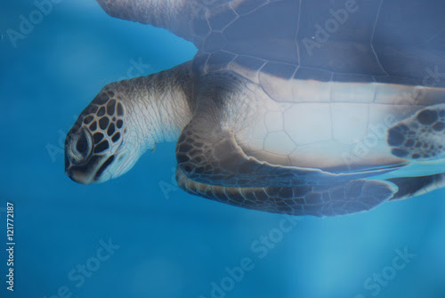 Adorable Baby Sea Turtle Underwater
