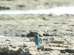 ウミセミ Kingfisher