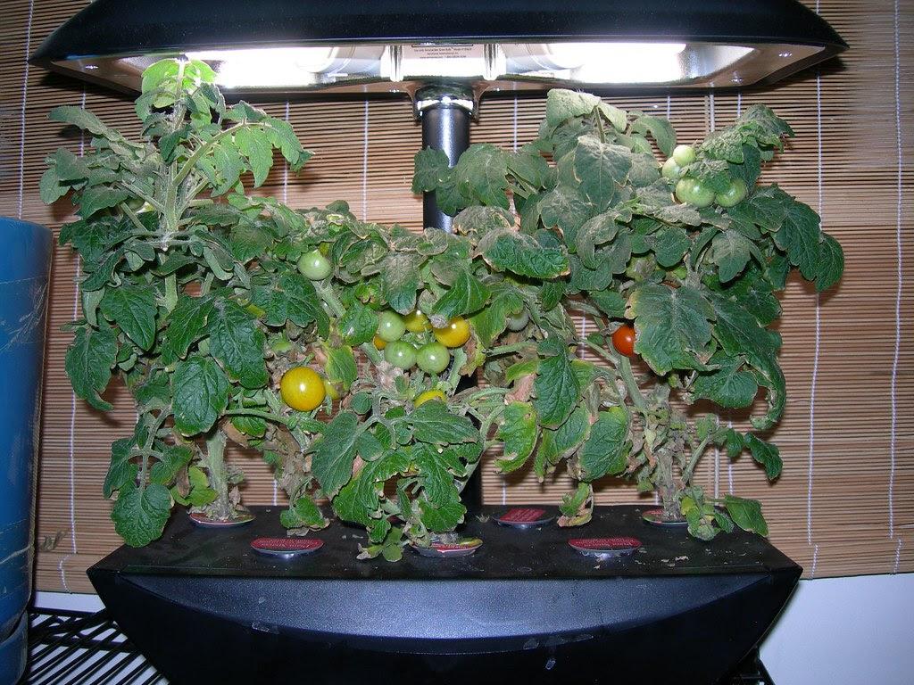 2007-07-21 Tomatoes (1)