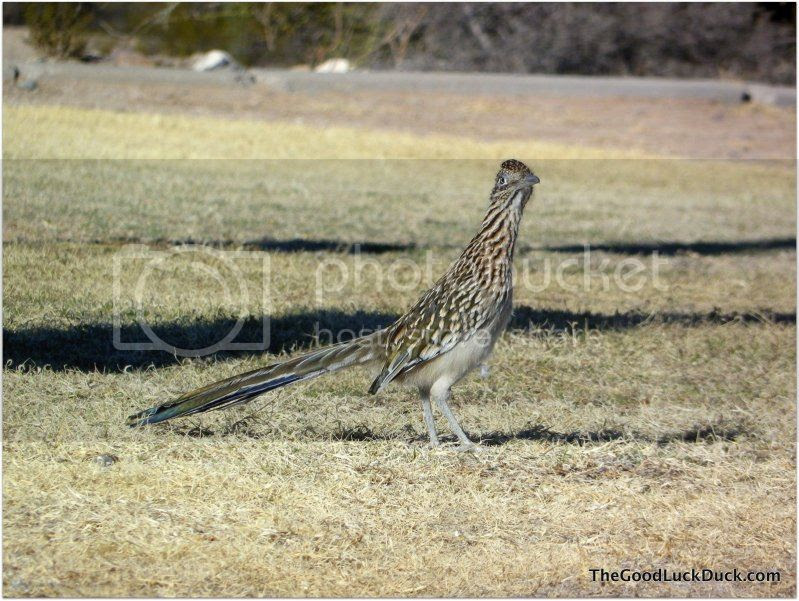Roadrunner in JFK Park, Tucson