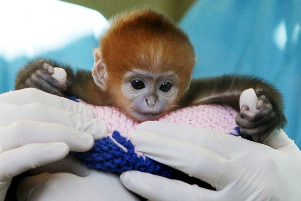Cuidados de un mono en Sydney
