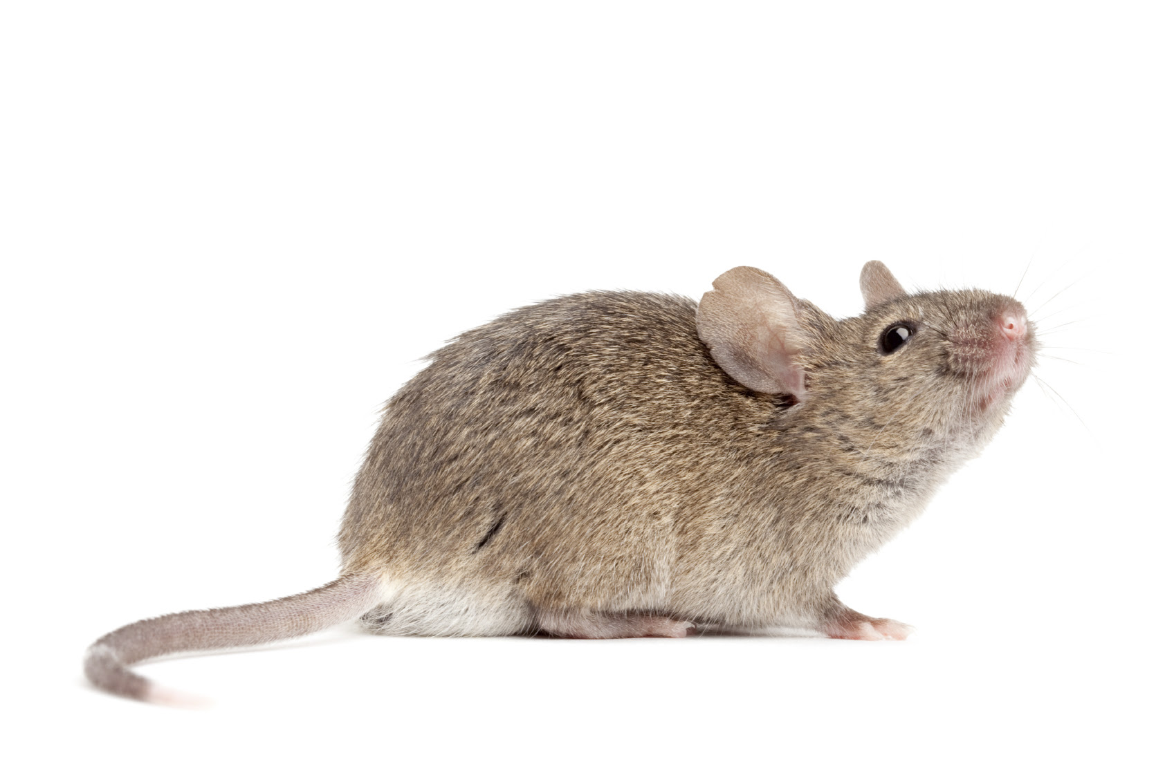 The house mouse can squeeze through an opening the size of a dime.
