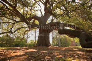 tree where the Emancipation Proclamation was read to slaves