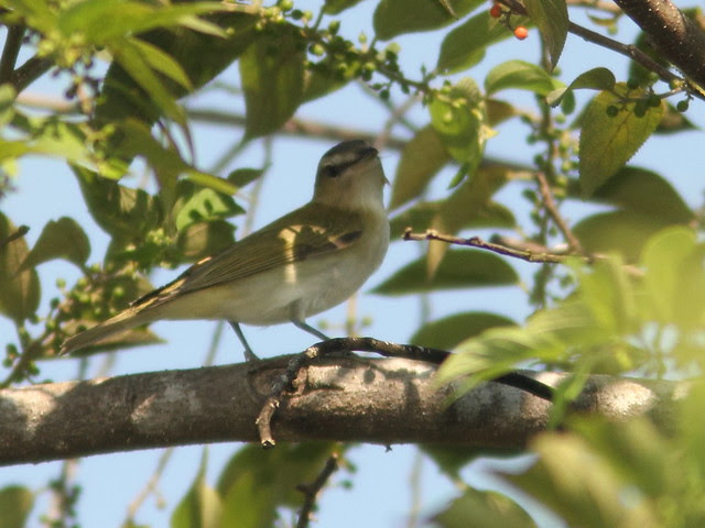 Vireo- Red-eyed vs Black-whiskered 20110914