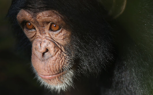 Will Today be the Day Chimpanzees become Legal Persons?