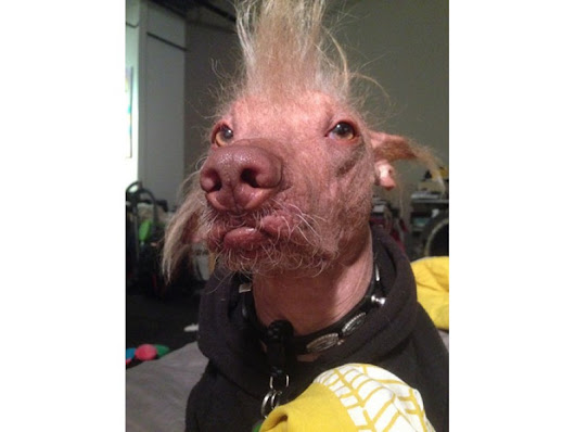 One Ugly Competition: 'World's Ugliest Dog' Contest Is Friday At Sonoma-Marin Fair