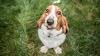 Razas de perro que detectan el coronavirus