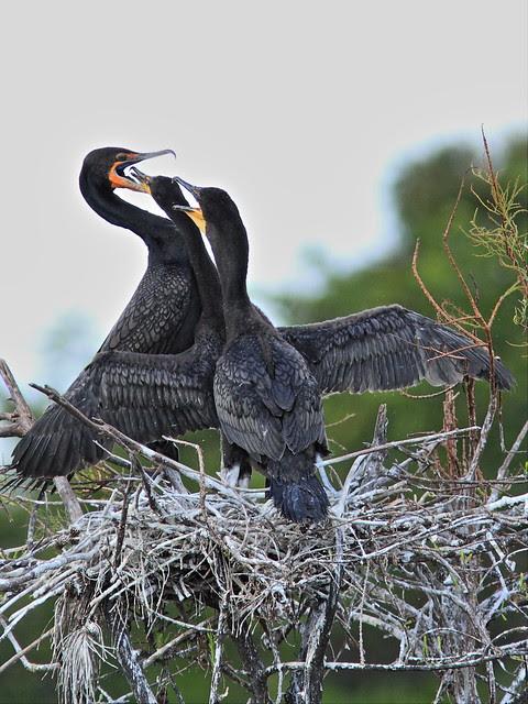 Double-crested Cormorant feeding chicks 04-20131210