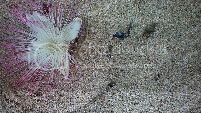 Pasir Putih di Pantai Balekambang