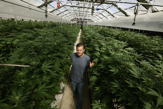 Here's why pot growers are paying millions for old greenhouses in the Salinas Valley