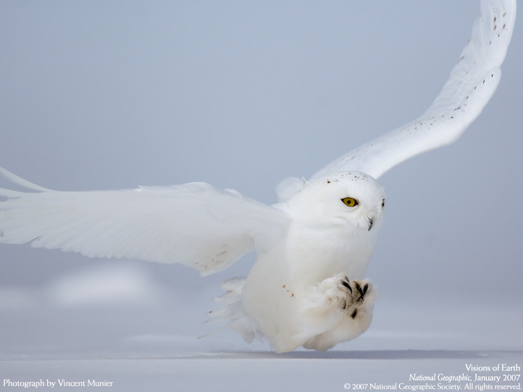 Amazing Planet Snowy Owl Quebec Province Canada