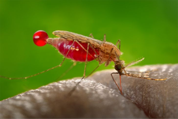 mosquito succionado sangre