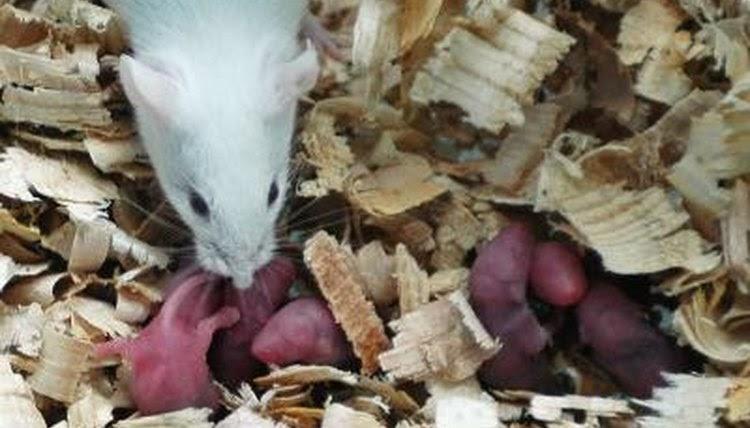 Gestation Period Of An Rat - christening outfits baby boy