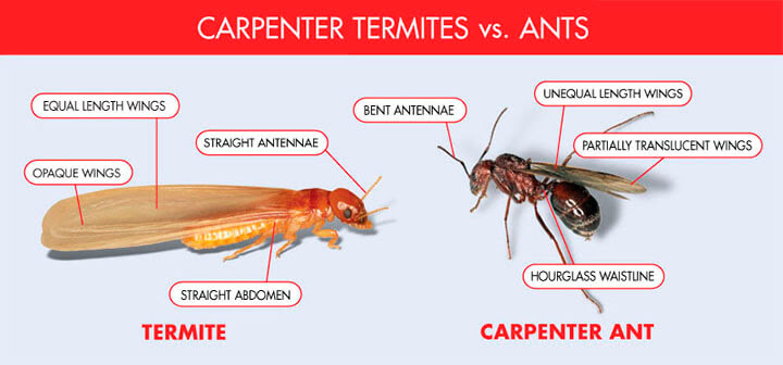 I Found A Winged Termite In My House - Termites Info