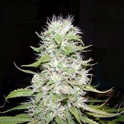 Hawaii Skunk Seeds | Cannabisowl Reviews