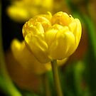 Yellow Tulips iPhone Case by Mike van der Hoorn
