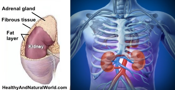Where Your Kidneys are Located & Where Kidney Pain is Felt