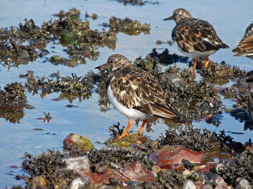 11472 - Turnstone at Fishguard Harbour
