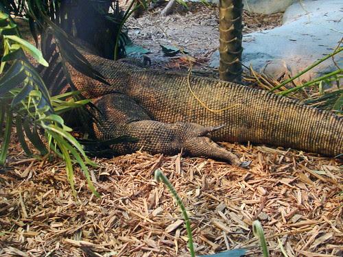 rear end of komodo dragon