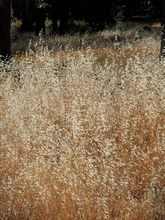 Grasses in the Point Pinole Meadow