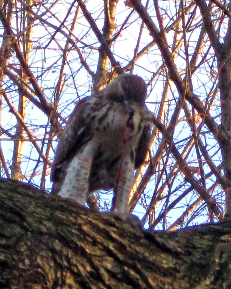 Hawk eating rat